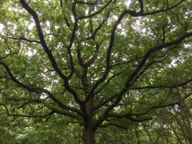 Pattern of oak branches
